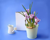 Spring crocus and empty notebook on a blue background — Stock Photo