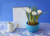 White crocuses and empty notebook on a blue background — Stock Photo