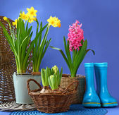 Rubber blue boots and spring flowers are in a basket — Stok fotoğraf