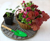 Garden composition in a basket of heuchera, pansies and daisies — Stock Photo