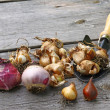 Flower bulbs (tulips, daffodils, miscarry) and shovel on the woo — Stock fotografie