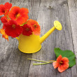 Nasturtiums in an  watering can on a old table  — Stock Photo
