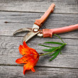 The cut flower saffron orange liliessaffron and secateurs — Stock Photo
