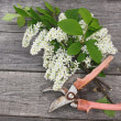 Bird-cherry tree flowers and secateurs on a wooden table — Stock Photo