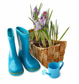 Basket with crocuses and gumboots on a white background — Foto de Stock