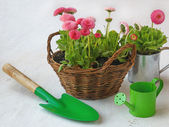 Pink daisy in a basket and green watering can and shovel — Stock Photo