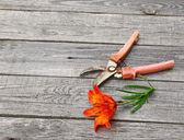 Orange lily flower saffron and secateurs — Stock Photo