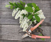 Bird-cherry tree flowers and secateurs on a wooden table — Photo