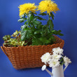 Yellow and white chrysanthemums on a blue background — 图库照片