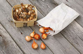Daffodils and tulips bulbs before planting in the ground — Stock Photo