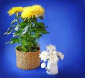 Crisantemi gialli e bianchi su sfondo blu — Foto Stock