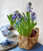 Blue hyacinth and muscari in basket — Stock Photo