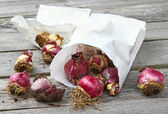 Hyacinth bulbs in a paper bag — Stock Photo