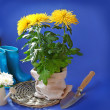 Chrysanthemums and garden shovel — Stock Photo
