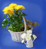 White and yellow chrysanthemum — Stock Photo