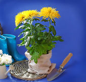 Chrysanthemums and garden shovel — Stock Photo