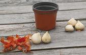 Tulip bulbs and flower pot — Stock Photo