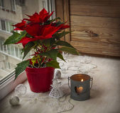 Poinsettia on the window. — Stock Photo