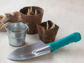 Grown seedlings iris bulbs — Stock Photo