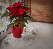 Poinsettia (Euphorbia pulcherrima) on the window and Christmas decor — Stockfoto