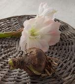 Bulbous plants and flower hippeastrum (amarillis) — Stock Photo