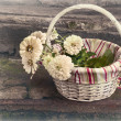 Stock Photo: Basket with white zinniof retro toning
