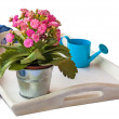 Stock Photo: Pink Kalanchoe