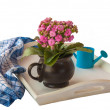 Stock Photo: Pink Kalanchoe isolated on white tray