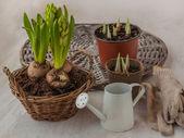 Growing hyacinth — Stock Photo