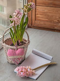Blooming pink hyacinth — Stock Photo