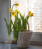 Daffodils on the window and the window it is snowing — Zdjęcie stockowe