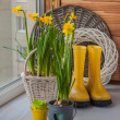 Yellow daffodils and yellow rubber boots — Stock fotografie