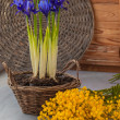 Постер, плакат: Irises in a basket and mimosa