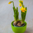 Yellow Daffodil flowers in a pot — Stock Photo