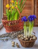 Daffodils and bulbous irises — Stock Photo