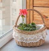 Basket with pink pelargonium (geraniums) in the window — Stock Photo