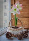 Pink hippeastrum next to fir-cone. — Stock Photo