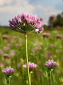 Blooming wild onions Meadow — Stock Photo