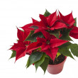 Red poinsettia flower (Euphorbia pulcherrima) over white — Stock Photo