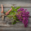 Постер, плакат: Lilac and secateurs