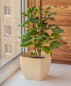 Dwarf dahlia in a flowerpot — Stock Photo