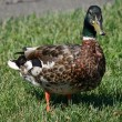 Duck on grass - Stock Photo