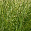 Tall Grass - Stock Photo