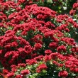 Red Mums - Stock Photo