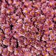Lavender Mums — Stock Photo
