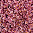 Lavender Mums - Stock Photo