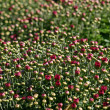 Stock Photo: Red Budding Mums