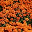Orange Mums - Stock Photo