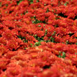 Stock Photo: Red Mums