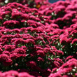 Purple Mums - Stock Photo